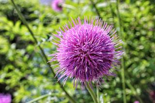 アザミの花の写真・画像素材[1373943]