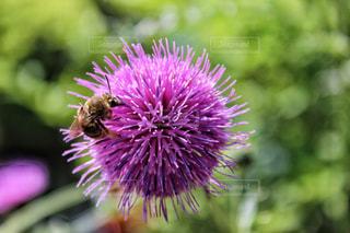アザミの花にとまる蜂の写真・画像素材[1373952]