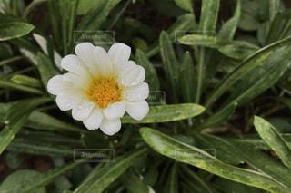 緑の葉と白い花の写真・画像素材[1388267]