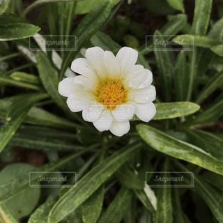 雨上がりの花。の写真・画像素材[1388268]