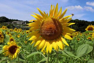 ひまわり畑の写真・画像素材[1393965]