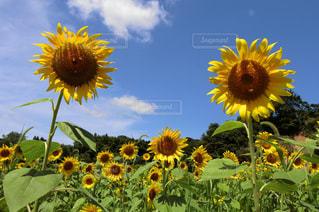 ひまわり畑の写真・画像素材[1393966]