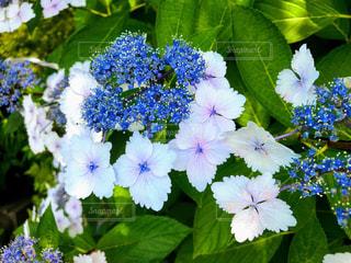 紫陽花の花の写真・画像素材[2273349]