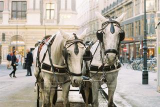 ウィーンの白い馬。の写真・画像素材[1342489]