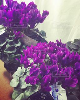 紫色のシクラメンの写真・画像素材[1341953]
