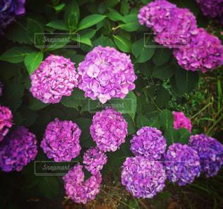長谷寺の紫陽花の写真・画像素材[1342123]