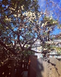 梅の花の写真・画像素材[2736406]