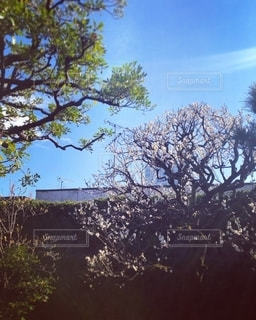 小春日和の梅の花の写真・画像素材[2736407]