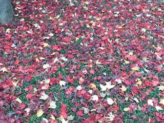 落ち葉の絨毯の写真・画像素材[1663075]