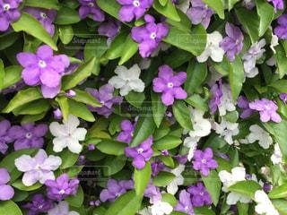 ニオイバンマツリの花の写真・画像素材[2116883]