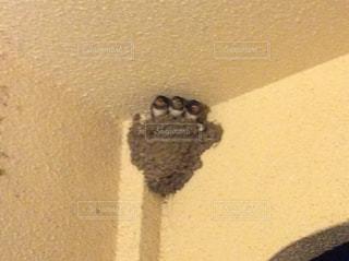 巣立ち前のツバメの写真・画像素材[1472050]