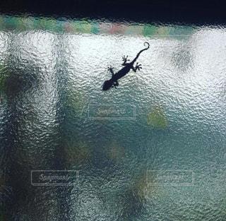 窓に住むやもりの写真・画像素材[1343924]