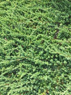 ローズマリーがいっぱい!の写真・画像素材[1370698]
