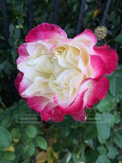 赤と白のバラの写真・画像素材[1719008]