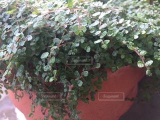 小っちゃい葉っぱが可愛い植物ですの写真・画像素材[2311144]