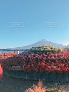 秋の花壇と富士山の写真・画像素材[1751266]