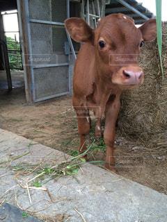 子牛の写真・画像素材[1378472]