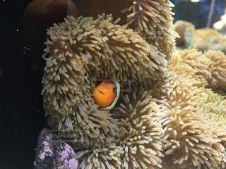 サンゴの写真・画像素材[3638368]