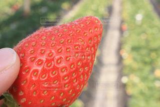 イチゴの写真・画像素材[1343592]