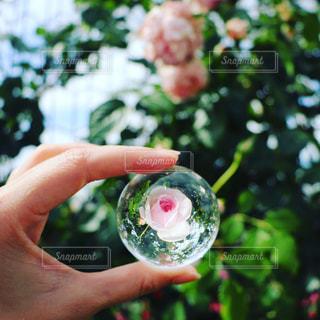 水晶の中の薔薇の写真・画像素材[1356740]