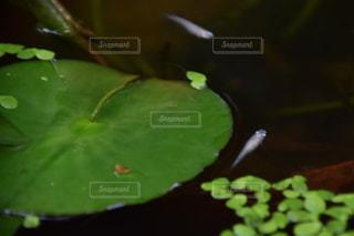 蓮とメダカの写真・画像素材[1344345]