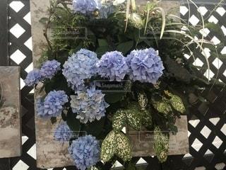紫陽花の写真・画像素材[1344503]