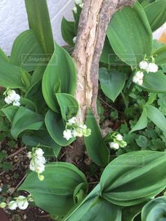 スズランの咲く庭の写真・画像素材[2294017]