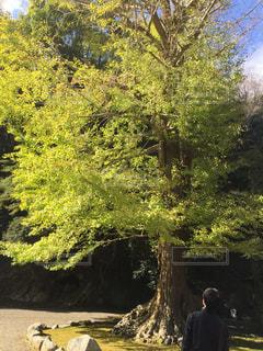 太陽の光できれいな黄緑になった葉の写真・画像素材[1380236]