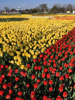 赤と黄色の花の写真・画像素材[1362276]