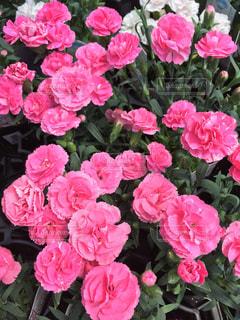 ピンクの花の束のアップの写真・画像素材[1362277]