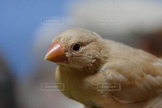 文鳥の写真・画像素材[1479573]