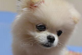 カメラを見て小さな白い犬の写真・画像素材[1479575]