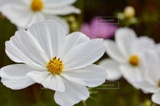白いコスモスの写真・画像素材[1497061]