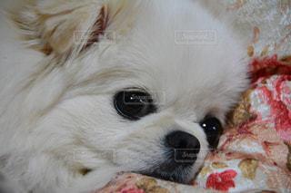 眠いよ〜の写真・画像素材[1500426]