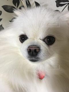カメラを見て小さな白い犬の写真・画像素材[1562212]