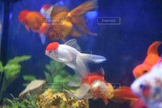金魚の写真・画像素材[1619682]