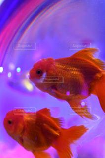 金魚の写真・画像素材[1619684]