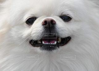 犬の顔のアップの写真・画像素材[1716259]