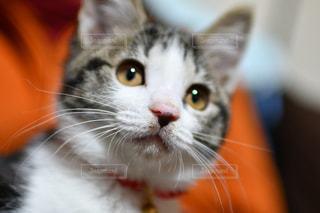 猫のアップの写真・画像素材[1716712]