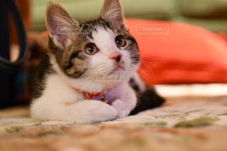猫のアップの写真・画像素材[1717016]