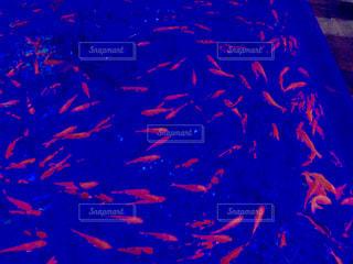 金魚の水槽の写真・画像素材[1743022]