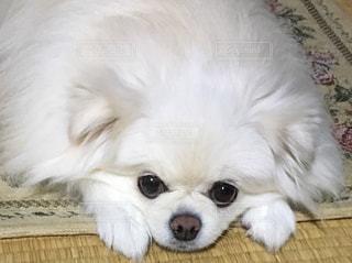 小さな白い犬の写真・画像素材[1743063]