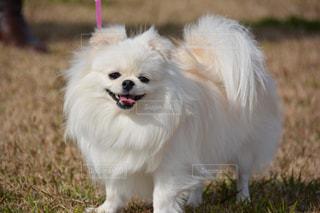 草の中の小さな白い犬立っての写真・画像素材[1760274]
