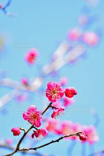 梅の花の写真・画像素材[1787788]