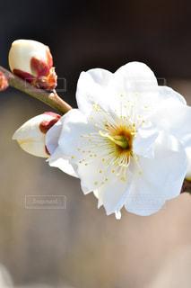 梅の写真・画像素材[1798921]