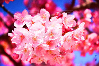桜のアップの写真・画像素材[1833649]