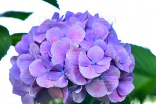 紫陽花の写真・画像素材[2213356]