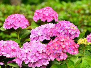紫陽花の写真・画像素材[2213427]