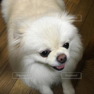 カメラを見ている小さな白い犬の写真・画像素材[2357901]