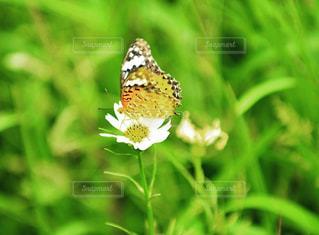 蝶の写真・画像素材[2382492]